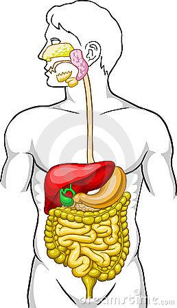 système digestif chiropracteur laval